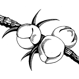Dancing Pines Illustration 4